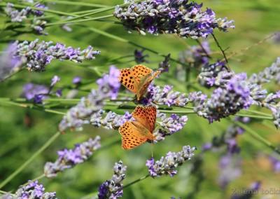 leptiri na lavandi