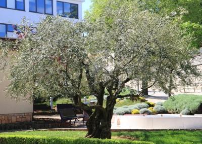 stablo stare masline