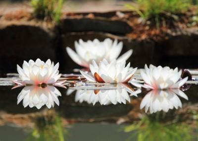 lopoči u cvatu